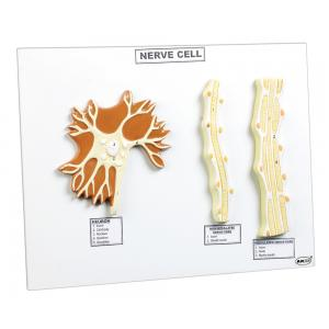 ARCO NERVE CELL